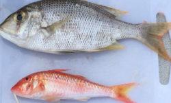 沖縄西海岸で釣れたシルイユー