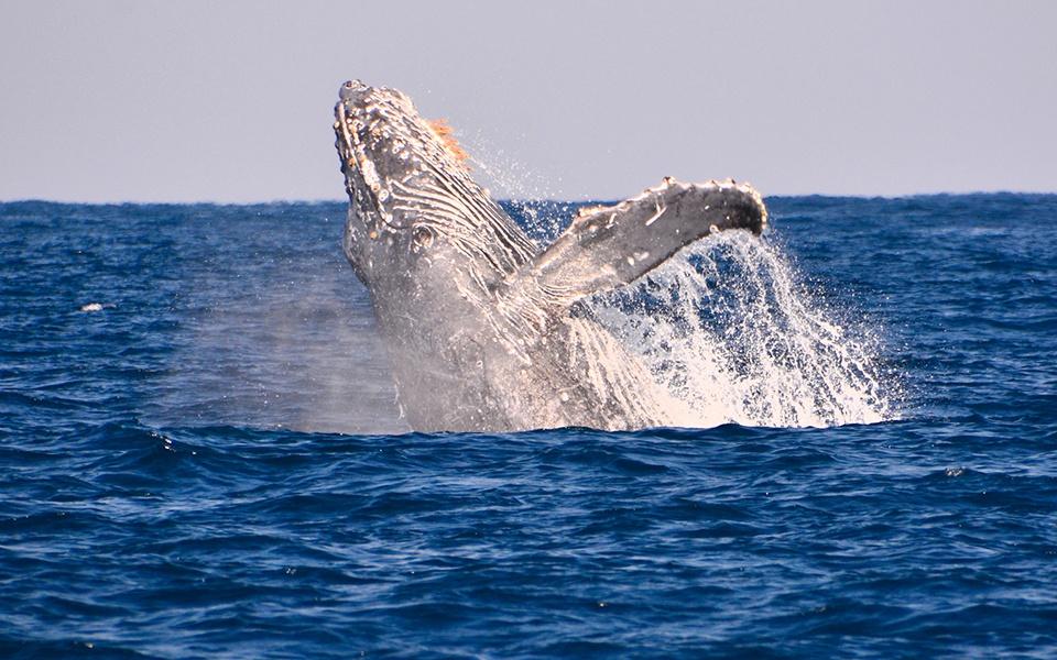 ザトウクジラのパフォーマンス