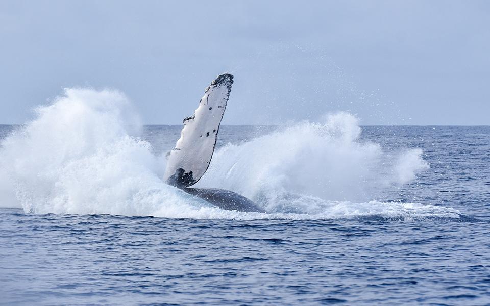 迫力満点のザトウクジラ