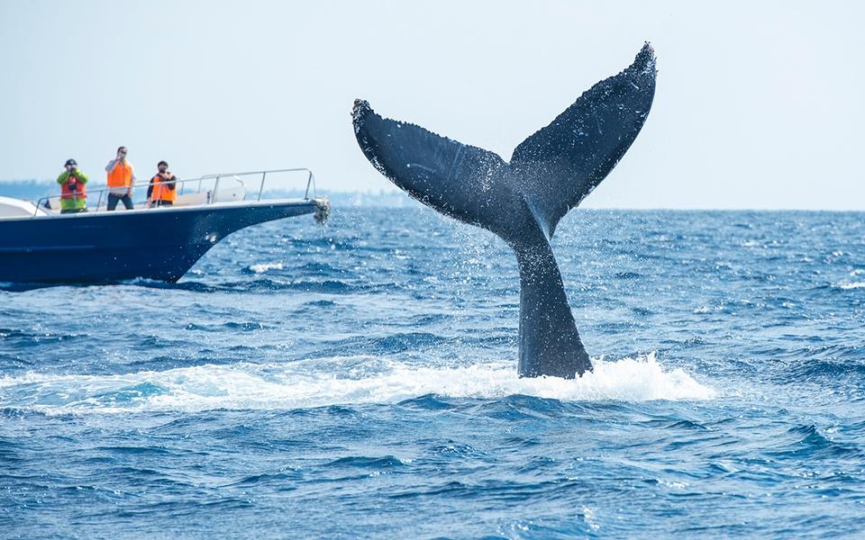 ザトウクジラのシッポ
